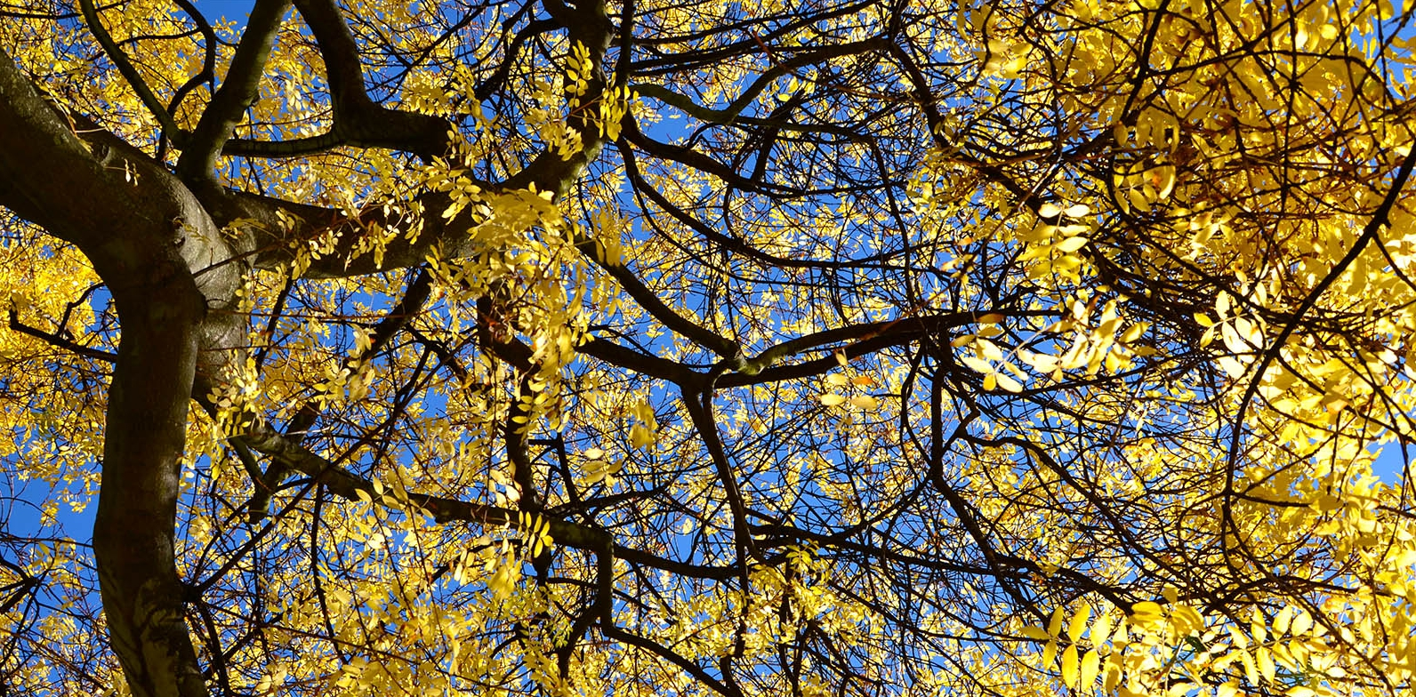 Ash tree in colour looking up through the branches to a blue sky in the Early Autumn 2013