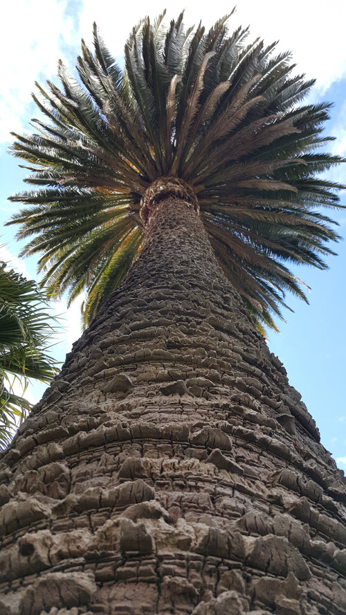 View up the large 30 meter Canary Isle Date palm up view