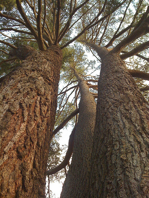 image looking up a Cedrus deodara at the front gate