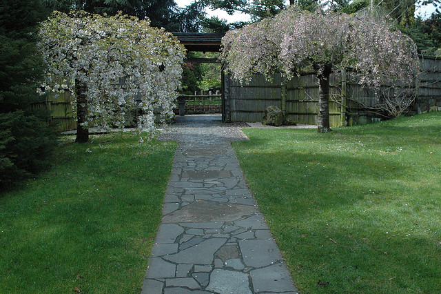 Cherry trees in flower side ent jap garden