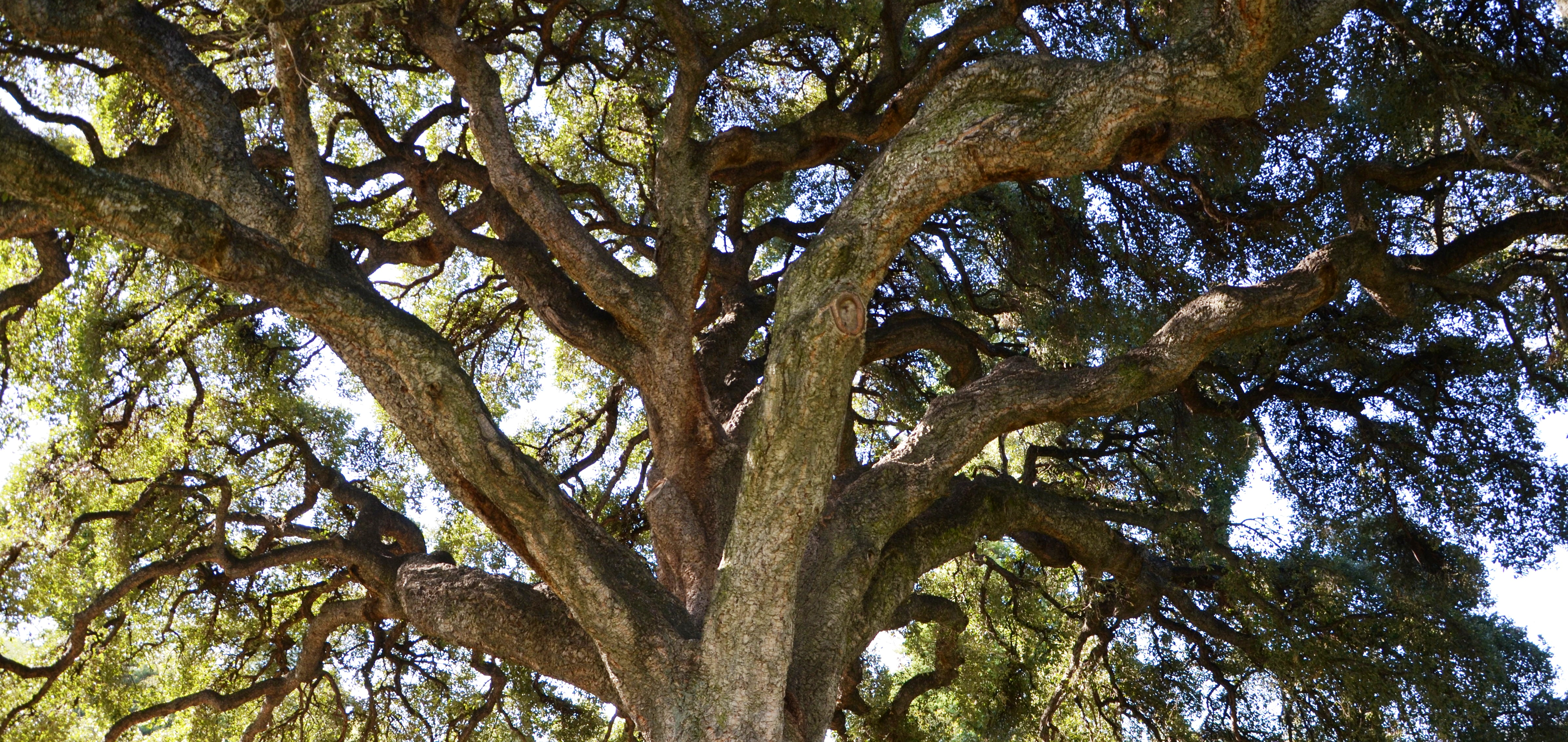 Up shot image of cork oak Quercus suber, one of the oldest plants in the gardens