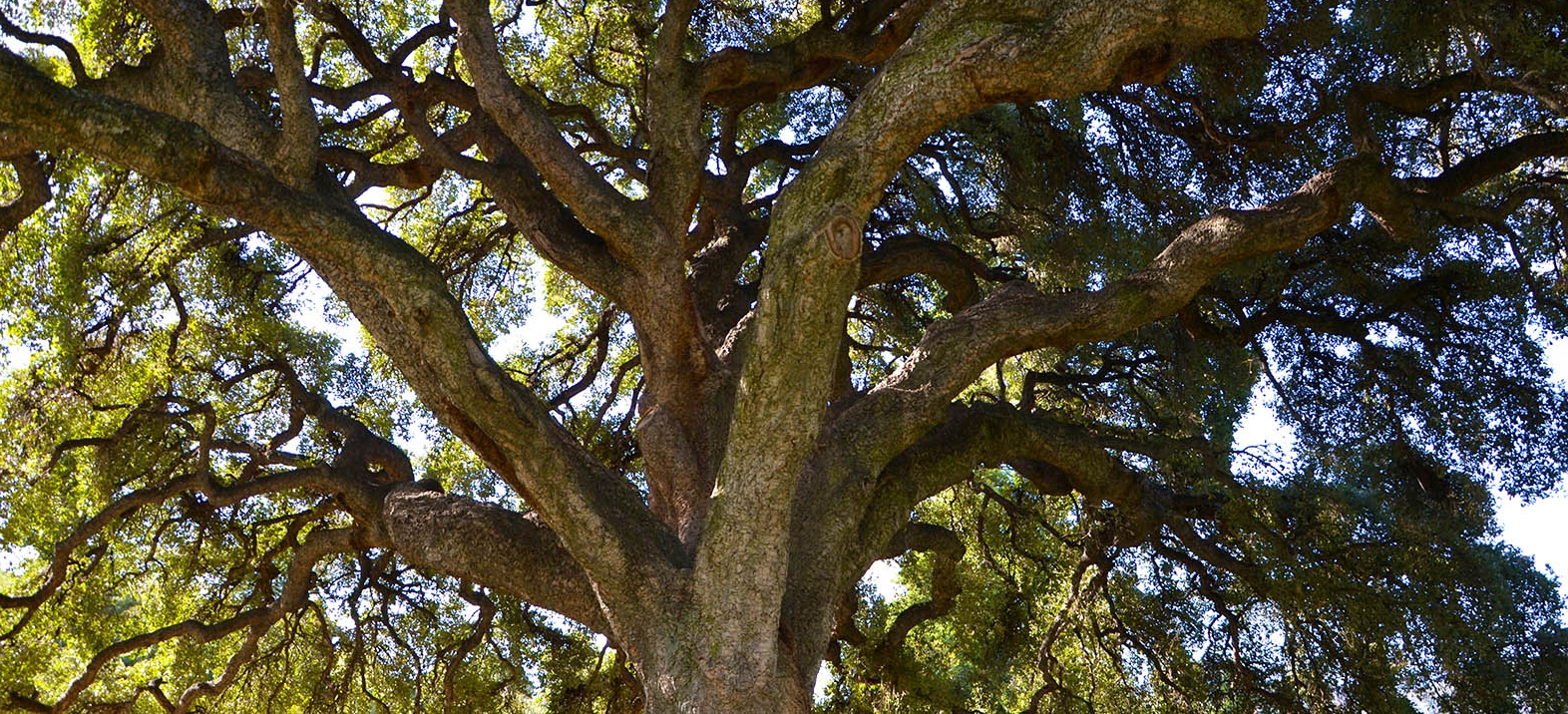 looking up into the large cork oak branch structure