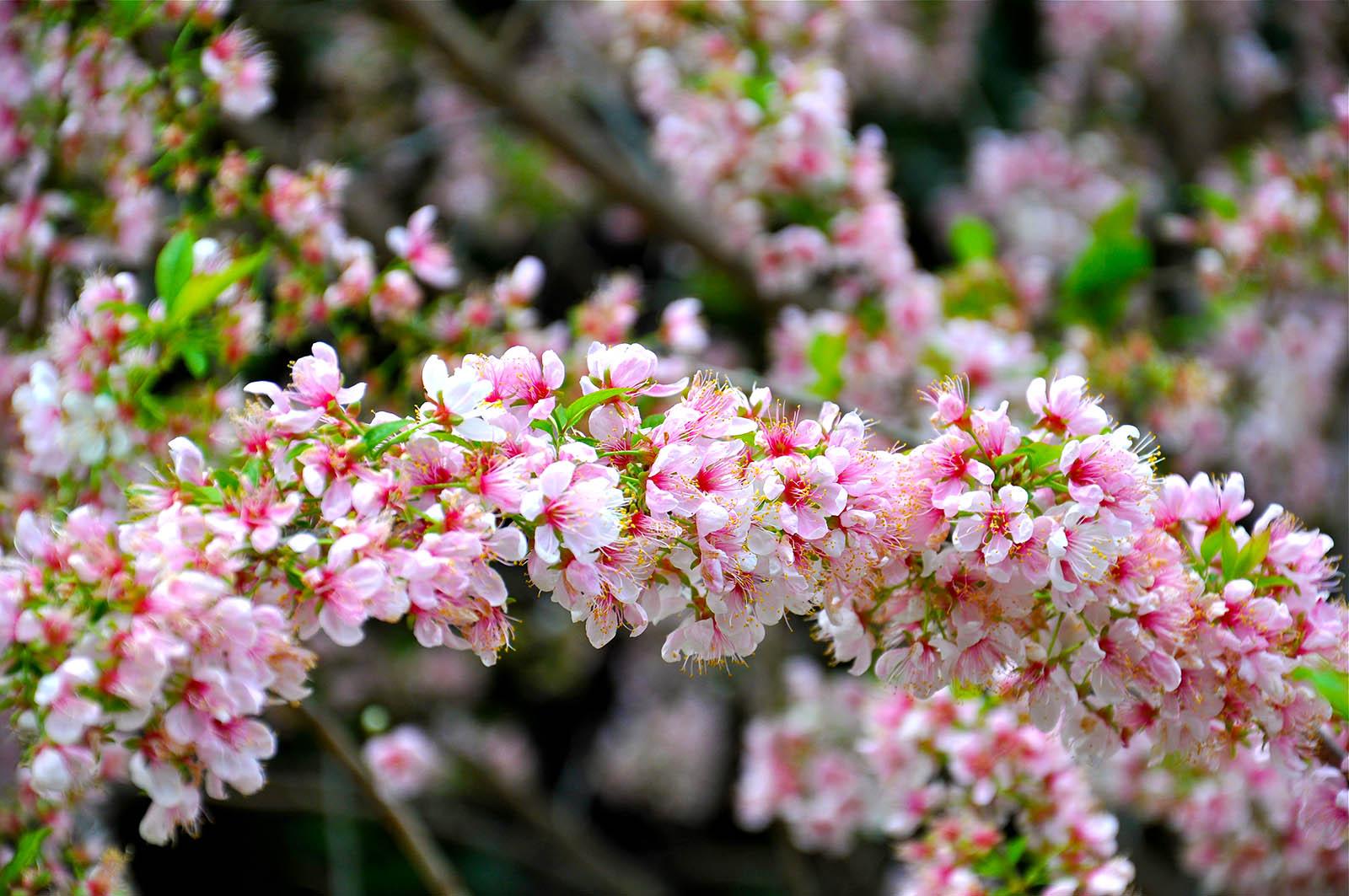 Prunus 'Elvins' branch in full flower, pink version