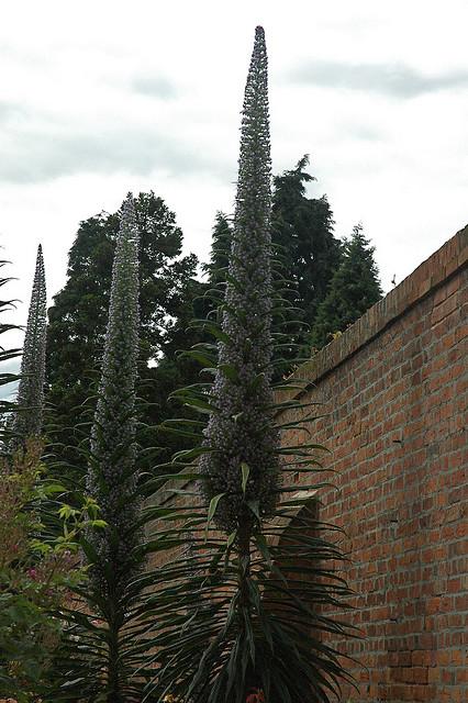 image of large 3 metre Echium pininana