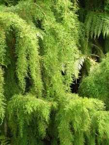 Huon Pine - Andrew Ross