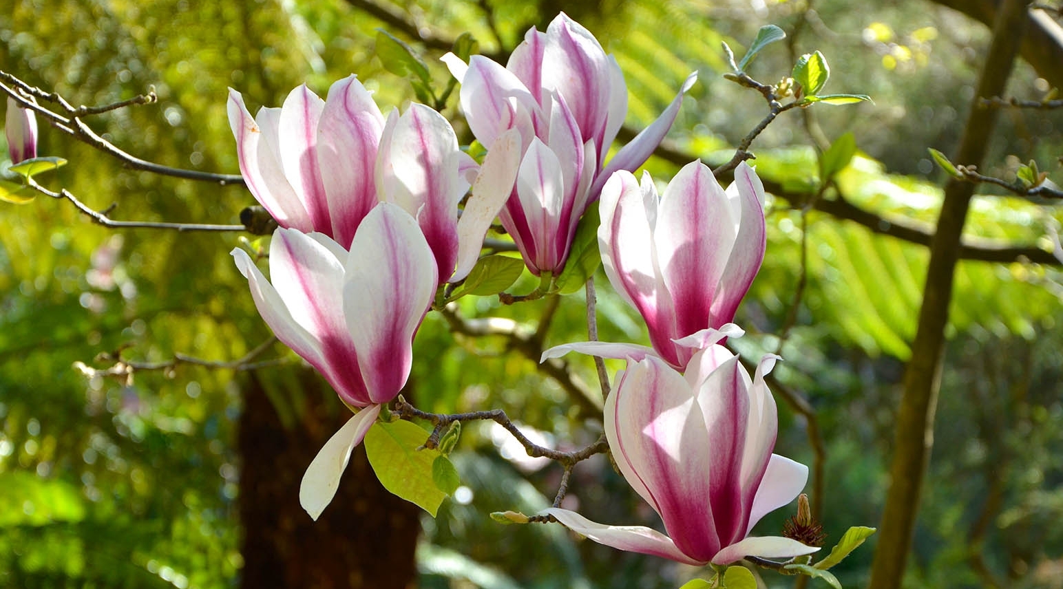 Flowers of Magnolia x soulangeana in early spring