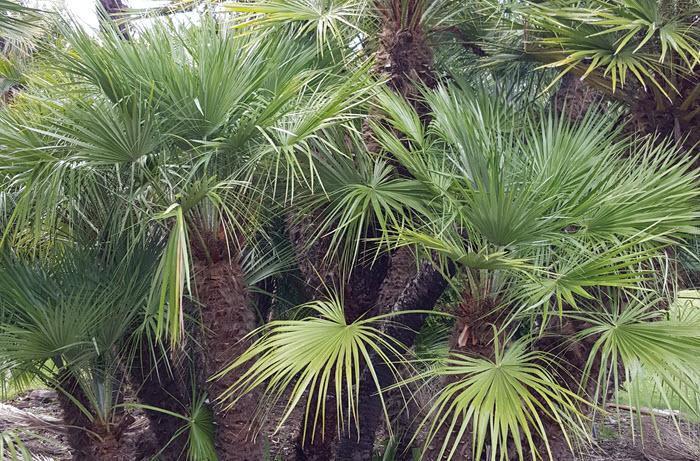 Mediterranean Dwarf Palms