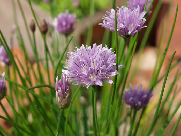 chives in full flower