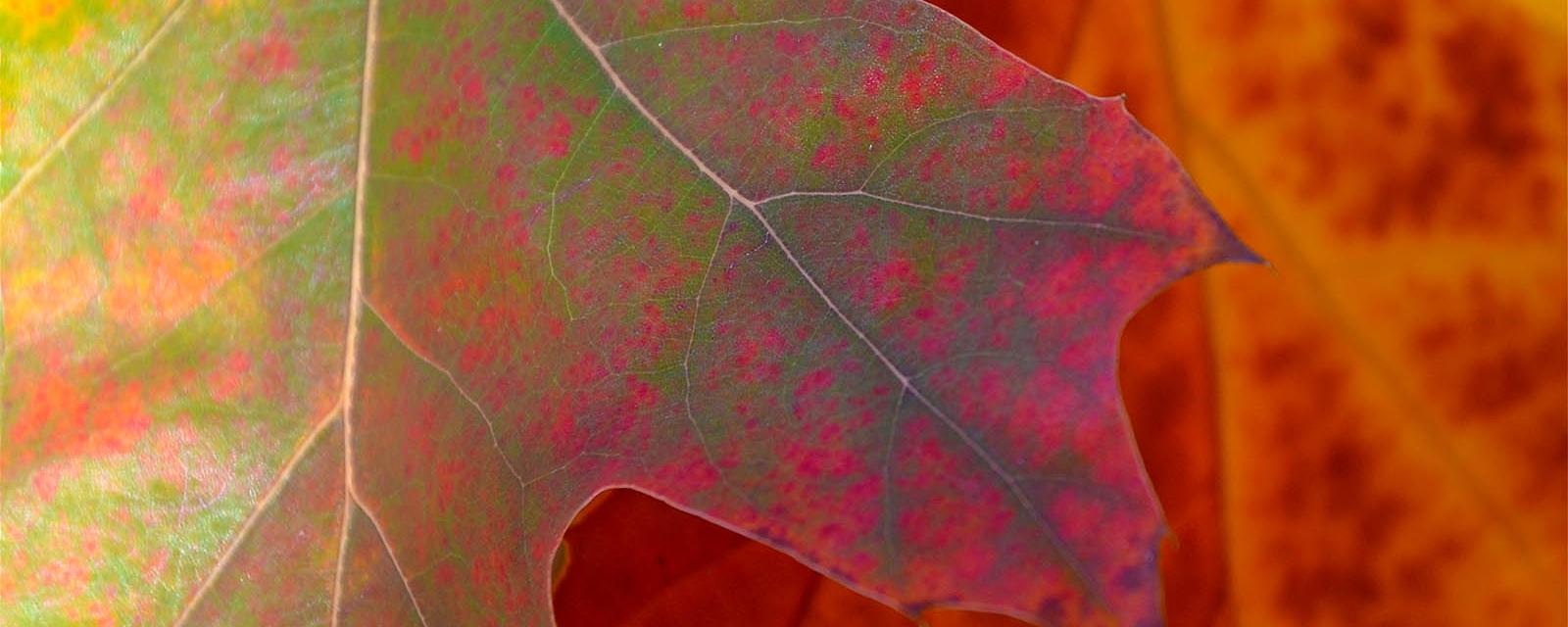 oak leaf close up in red autumn colour