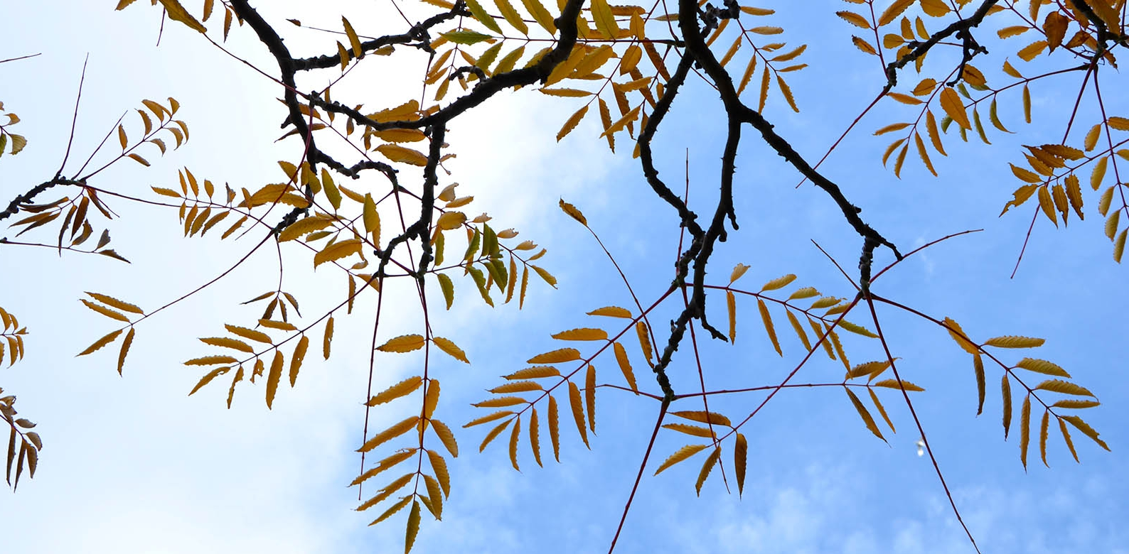 Zanthoxylum ailanthoides - Japanese Gardens, RTBG - Autumn 2013 looking into the blue sky above