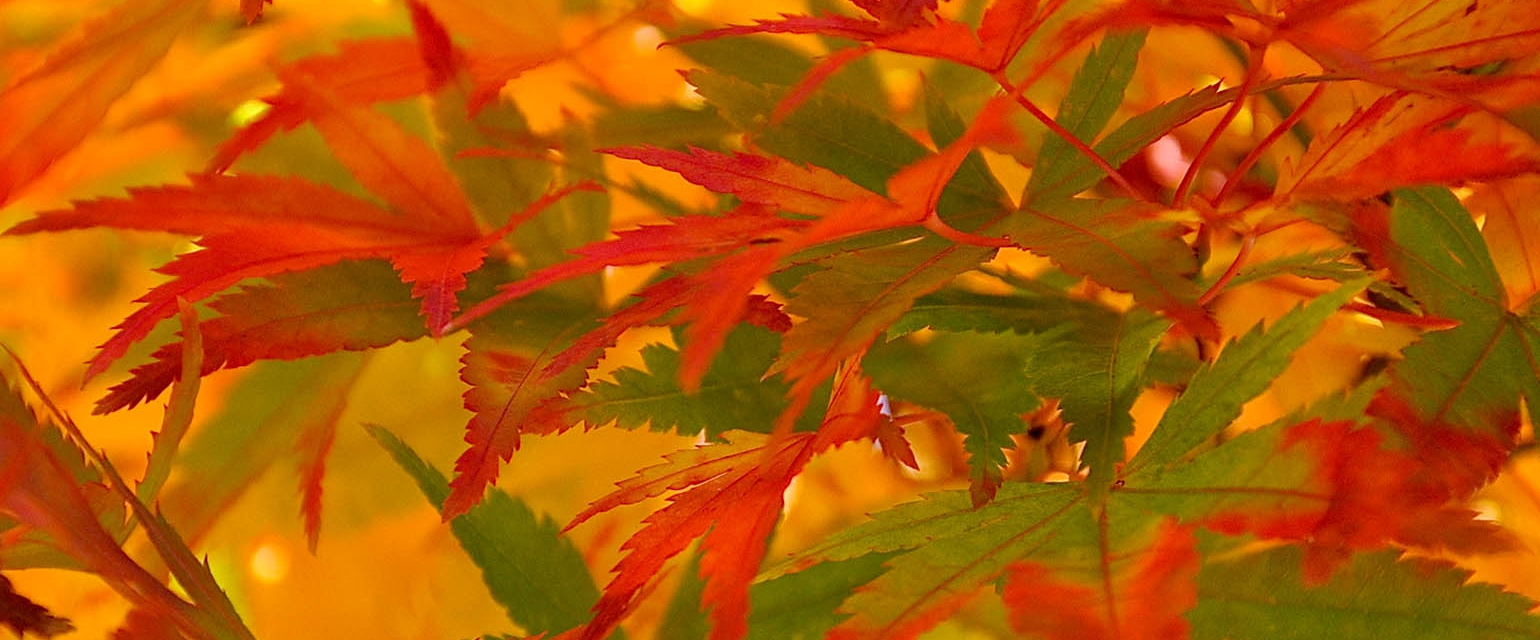 close up of Acer palmatum red autumn leaves