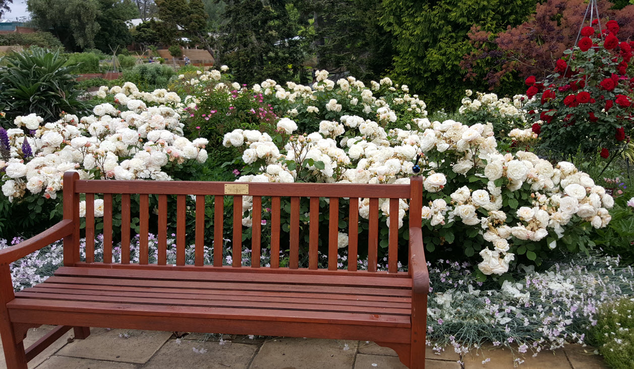 Bench in the roses mixed border with red rose
