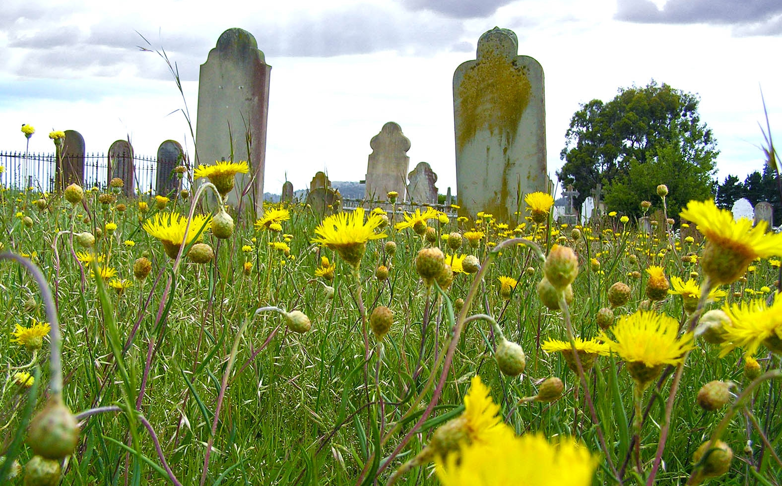 Midlands Cemetery and tombstones with rare and threatened grassland plant species in flower.