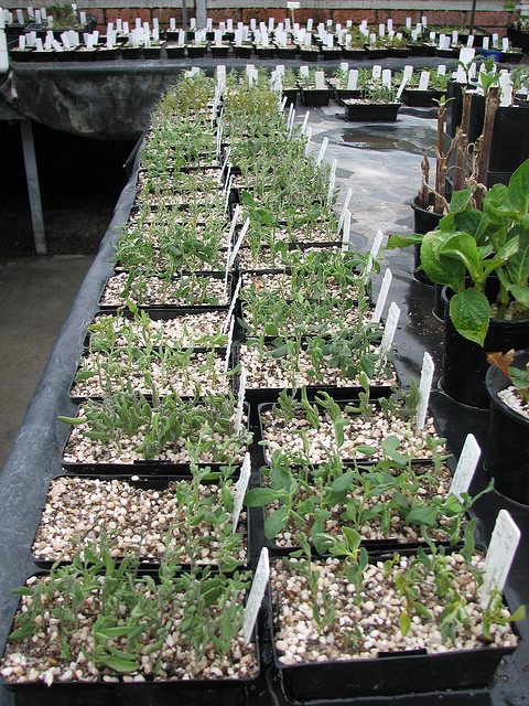 Cyphanthera tasmanica cuttings for seed orchard in RTBG Nursery