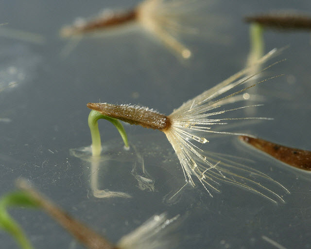 Figure 3. Close up of Vittadinia muelleri seeds germinating on 1% agar at 20°C displaying classic epigeal germination.jpg