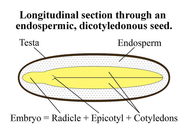 Figure 4. Cross section of a stylised dicotyledonous seed. The relative size of the endosperm and cotyledons is highly variable across seed bearing plant species