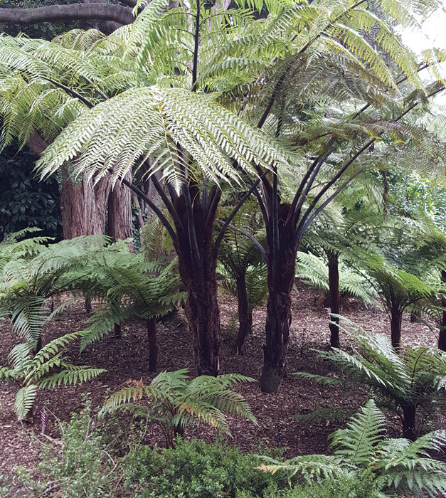 NZ tree fern, wonderful black hairy trunk of this fern