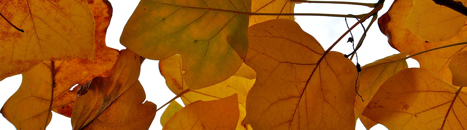 Looking through the orange autumn leaves of a Tulip tree