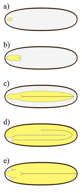 Seed Embryo Variation