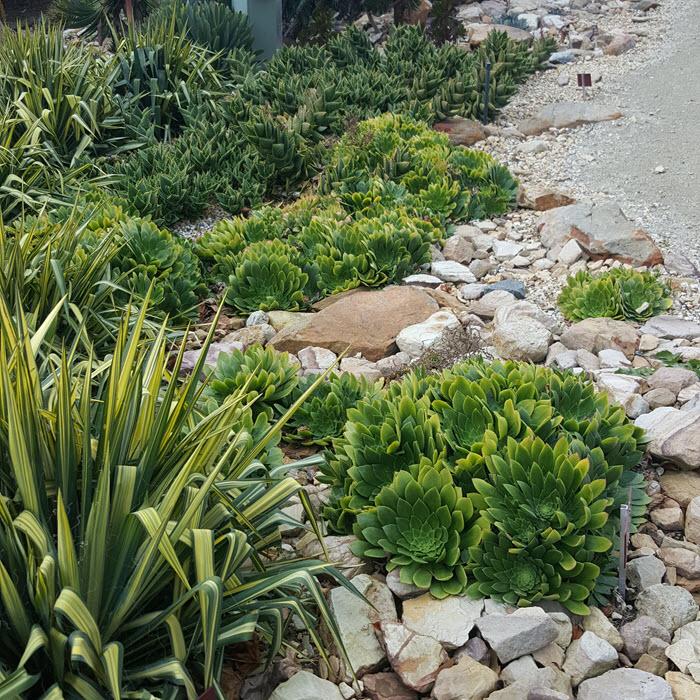 Image of Yucca in Xerophyte garden