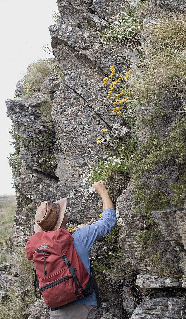 Collecting seed of Rhodanthe anthemoides(Asteraceae) on cliffs above the Ouse River, Central Highlands, Tasmania.