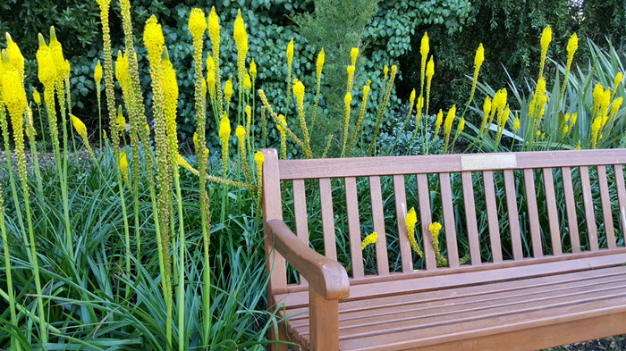 corner of one of the many memorial benches in the gardens surrounded by yellow Bulbinella angustifolia which look a bit like the plant known as a Red Hot Poker