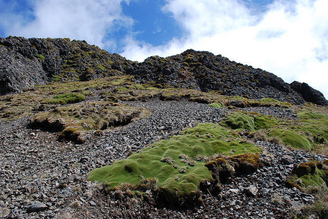 plateau of Macquarie Island looking at large cushions of Azorella macquariensis