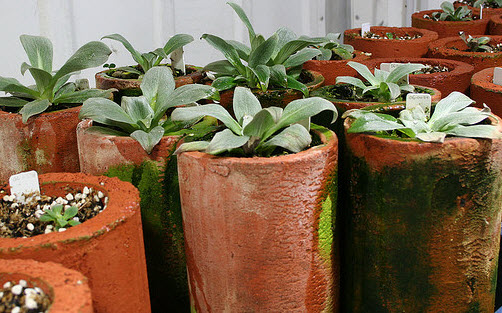 Figure 3. Cultivation of the sub-antarctic megaherb Pleurophyllum hookeri (Asteraceae) in refrigerated units at the RTBG nursery