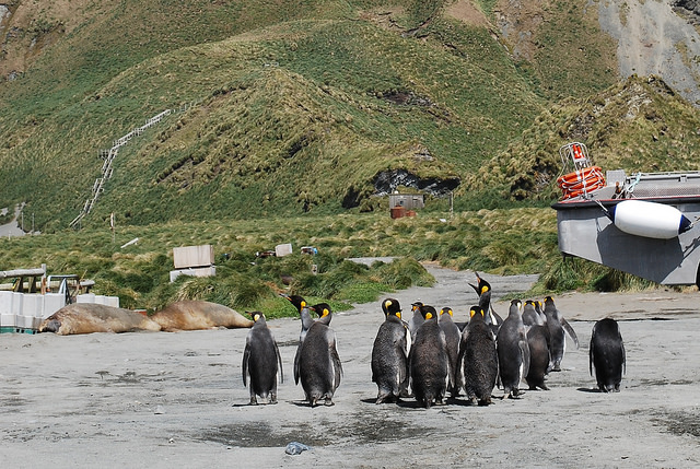 King Penguin tour of the Station on Macquarie Island and friends