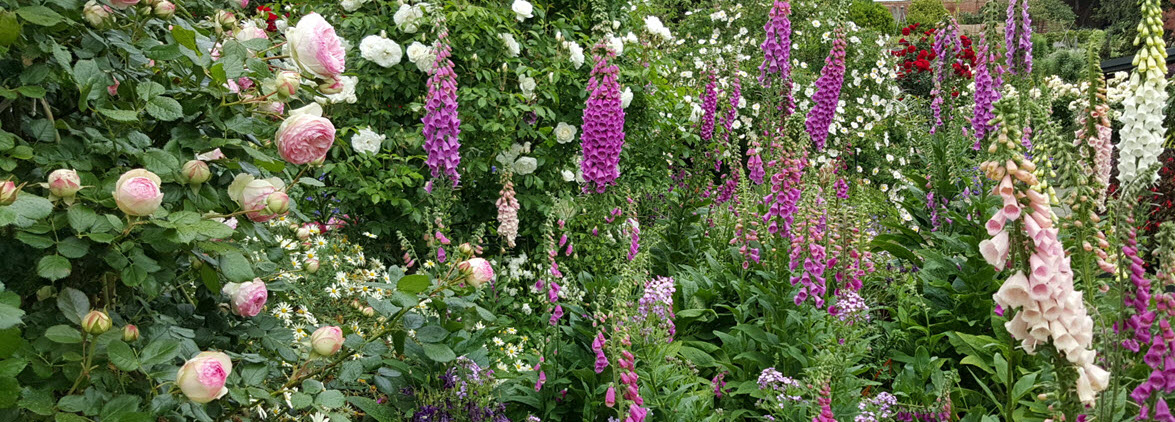 Foxgloves in the mixed border