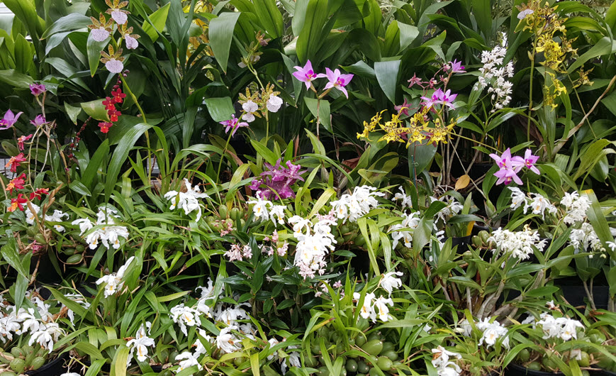 Mixed conservatory Orchids