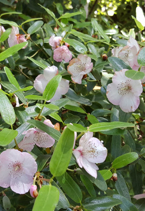 Eucryphia lucida,The Tasmanian Leatherwood in full flower title image