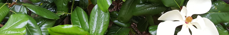 Bull Bay Magnolia – Magnolia grandiflora narrow image of leaf and flower