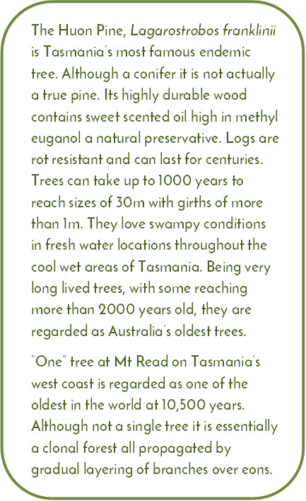 "The Huon Pine, Lagarostrobos franklinii is Tasmania's most famous endemic tree. Although a conifer it is not actually a true pine. Its highly durable wood contains sweet scented oil high in methyl euganol a natural preservative. Logs are rot resistant and can last for centuries. Trees can take up to 1000 years to reach sizes of 30m with girths of more than 1m. They love swampy conditions in fresh water locations throughout the cool wet areas of Tasmania. Being very long lived trees, with some reaching more than 2000 years old, they are regarded as Australia's oldest trees. ""One"" tree at Mt Read on Tasmania's west coast is regarded as one of the oldest in the world at 10,500 years. Although not a single tree it is essentially a clonal forest all propagated by gradual layering of branches over eons."