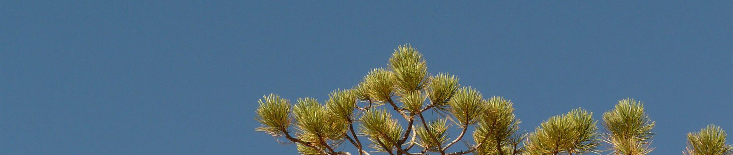 Lone pine feature image
