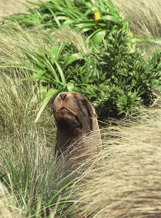 Sub-adult male (SAM) Hooker's Sea Lion - Campbell Island