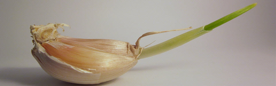 garlic sprouting feature image