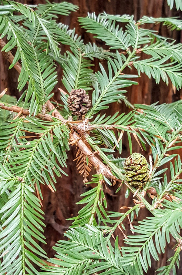 The coast redwood Sequoia sempervirens has dfferent leaves and smaller cones than the giant sequoia