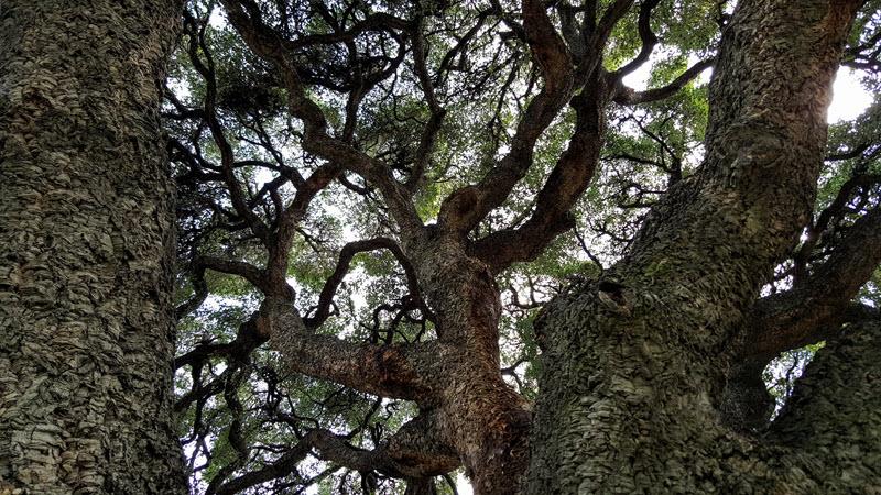 Cork oak branches in the sky