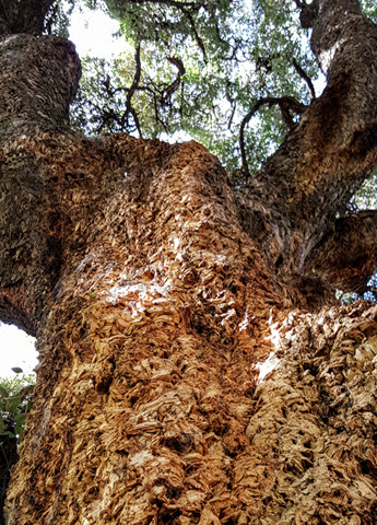 Feature image of cork oak for stories slider