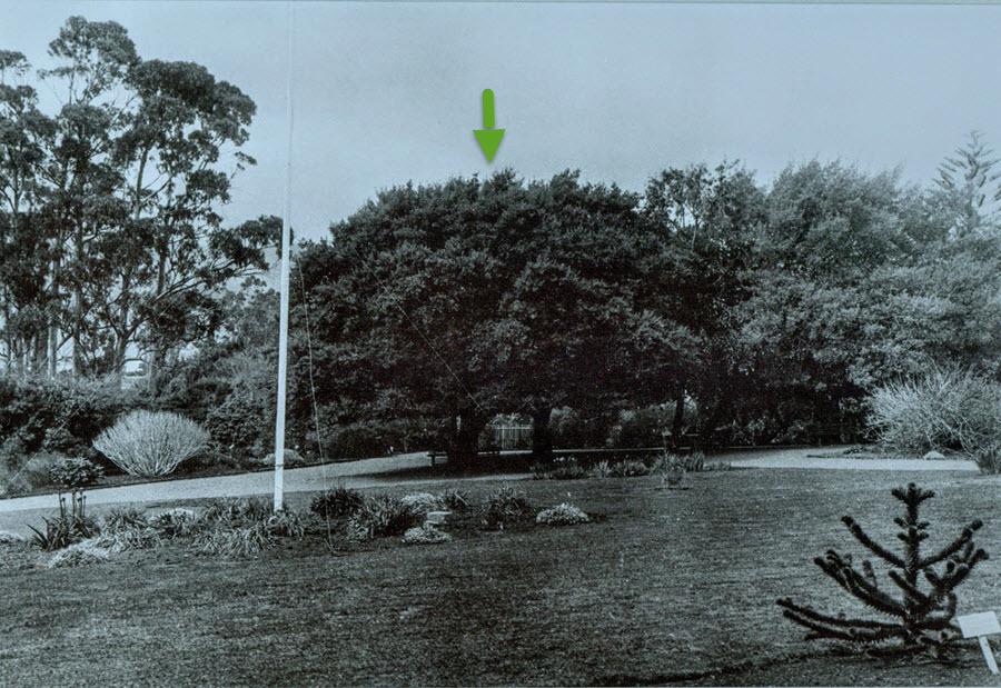Flag pole, Cork Oak, Eucalypts c1898 photographer JW Beattie from TMAG 900 with arrow