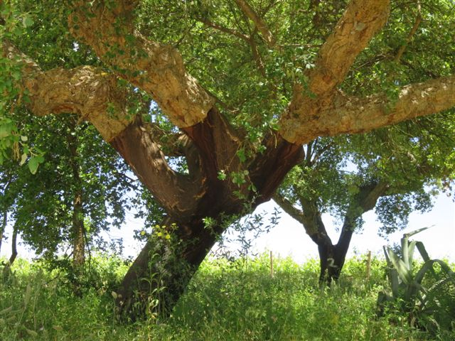 Cork oak habitat in Portugal 2016
