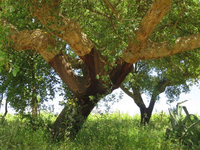Cork oak habitat in Portugal 2016