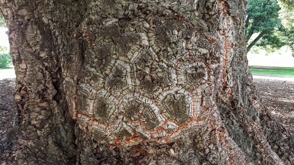 cork oak tortoise shell big burl