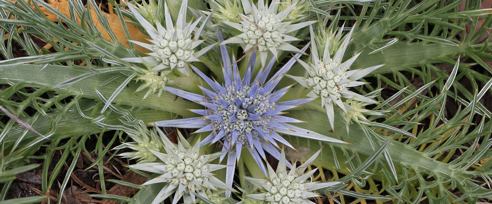 Eryngium-ovinum-Dave-Marrison-narrow-image-for-slider