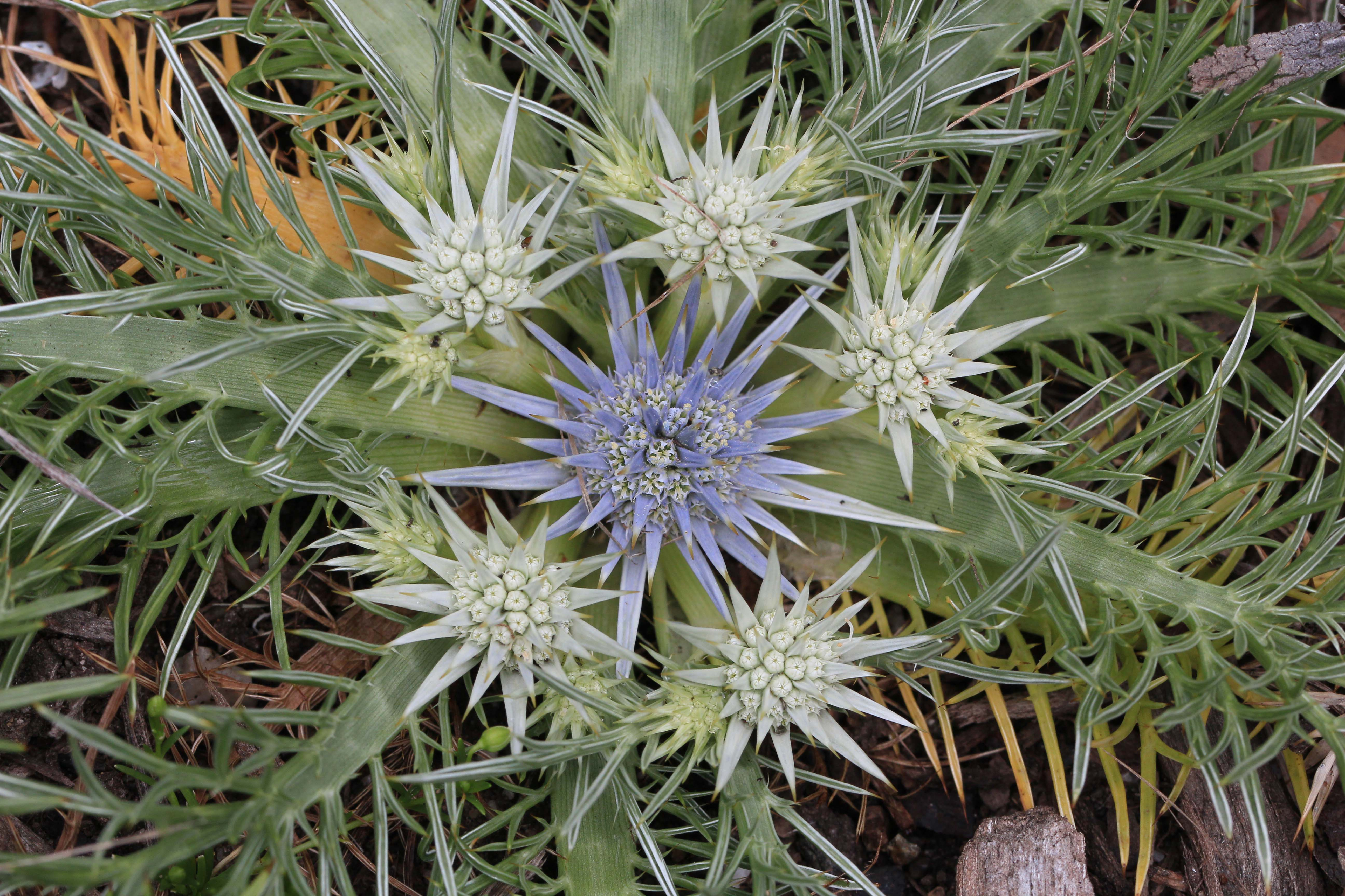 Eryngium-ovinum-Dave-Marrison-small-resolution