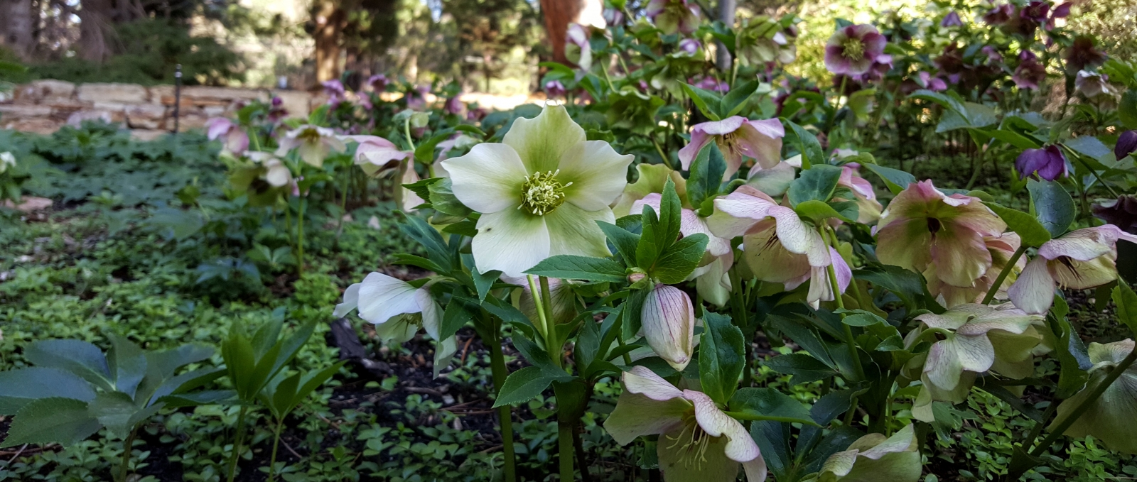 hellebores with wall in background Aug 2016