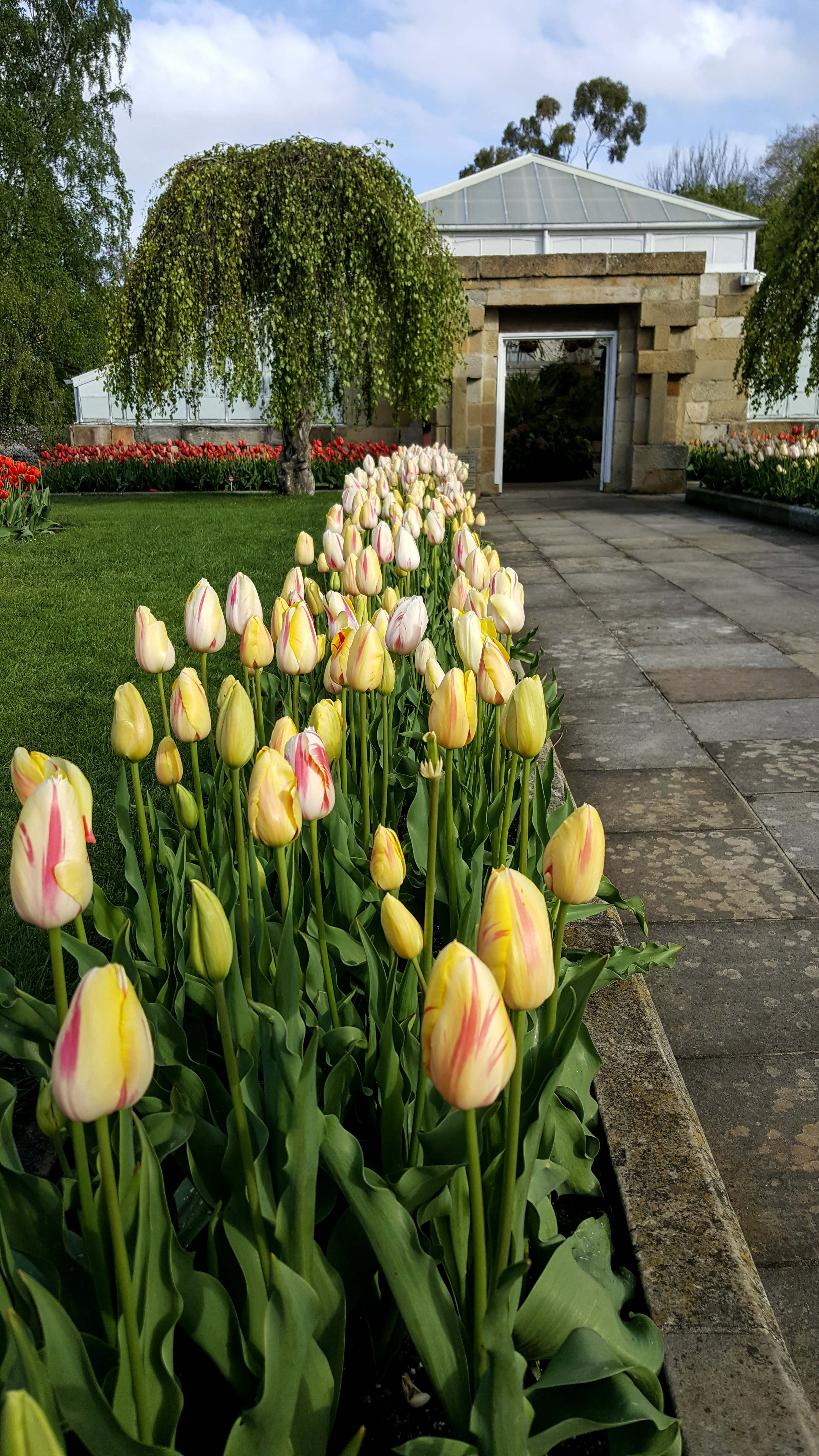 Tulip pathway to conservatory 2016