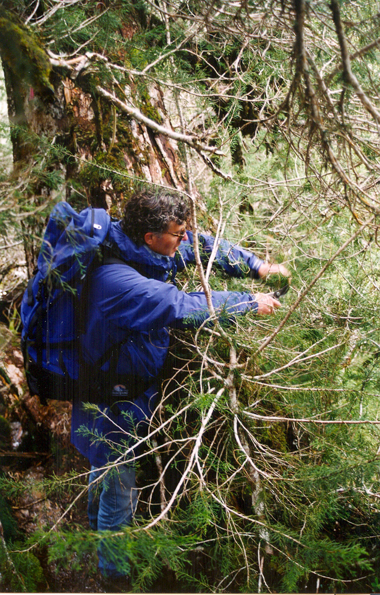 RTBG DD Mark Fountain collecting samples of Huon pine at Mt Read in 1997