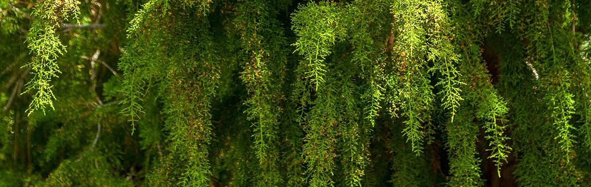 Huon Pine Andrew knott narrow view